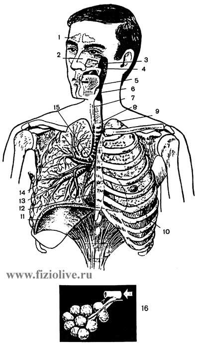 Лечебная физкультура при заболеваниях органов дыхания