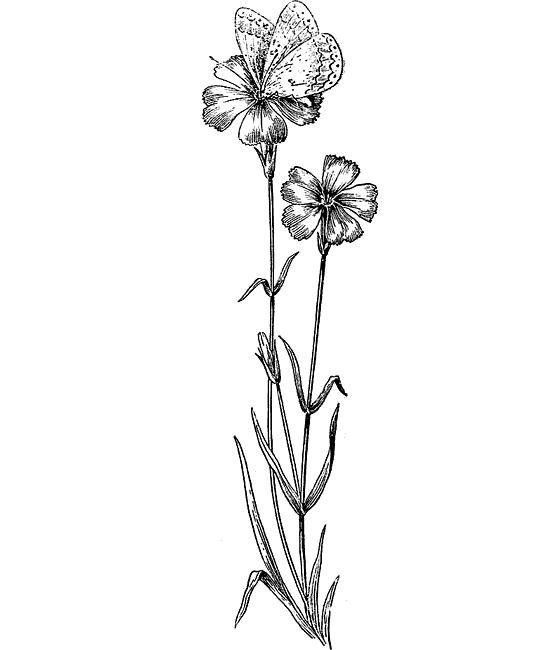 Полевые цветы карандашом в картинках