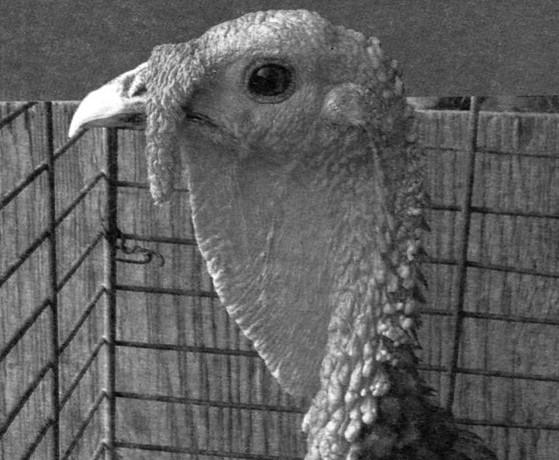 Разведение домашней птицы на ферме и приусадебном участке