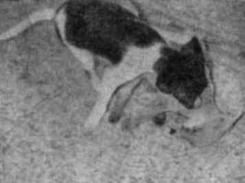 Собака и лисица
