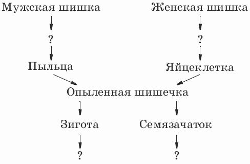16.Дополните схему развития голосеменных.  A. На поверхности чешуи женских шишек.  A. Размножение спорами.